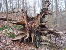 A neat root cluster of a fallen tree