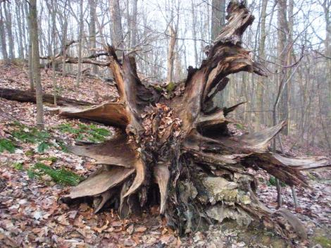 Root cluster of fallen tree. Approx. 1 mile west of Brandywine Falls.